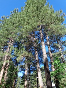Mature Pine Trees Whispers From the Father