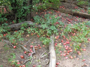 Fallen Apples West Fork Oak Creek Canyon Whispers From the Father