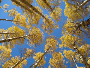 Golden Aspens Whispers from the Father